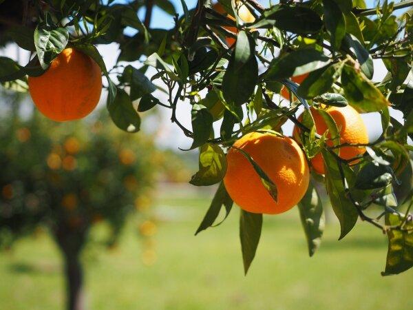 Batalia Olivenöl Orange extravergine
