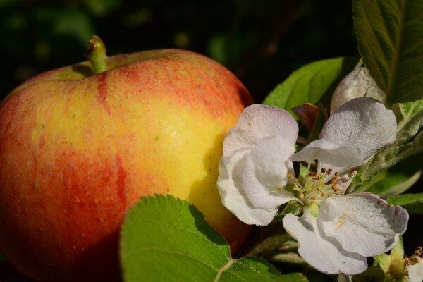 Apfel Balsam Essig mit Apfelblüte
